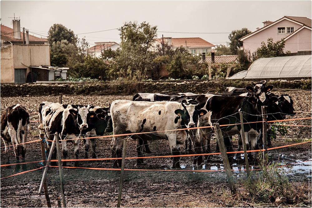 Сельское хозяйство. Коровы. Поргугалия. (Agriculture. Cows. Portugal.)