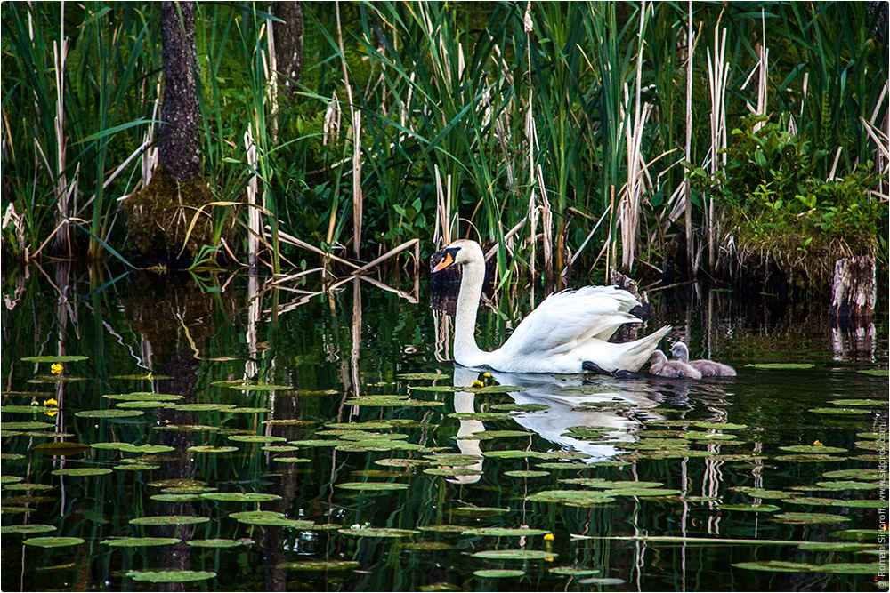 Озеро с лебедем в Тракае, Литва