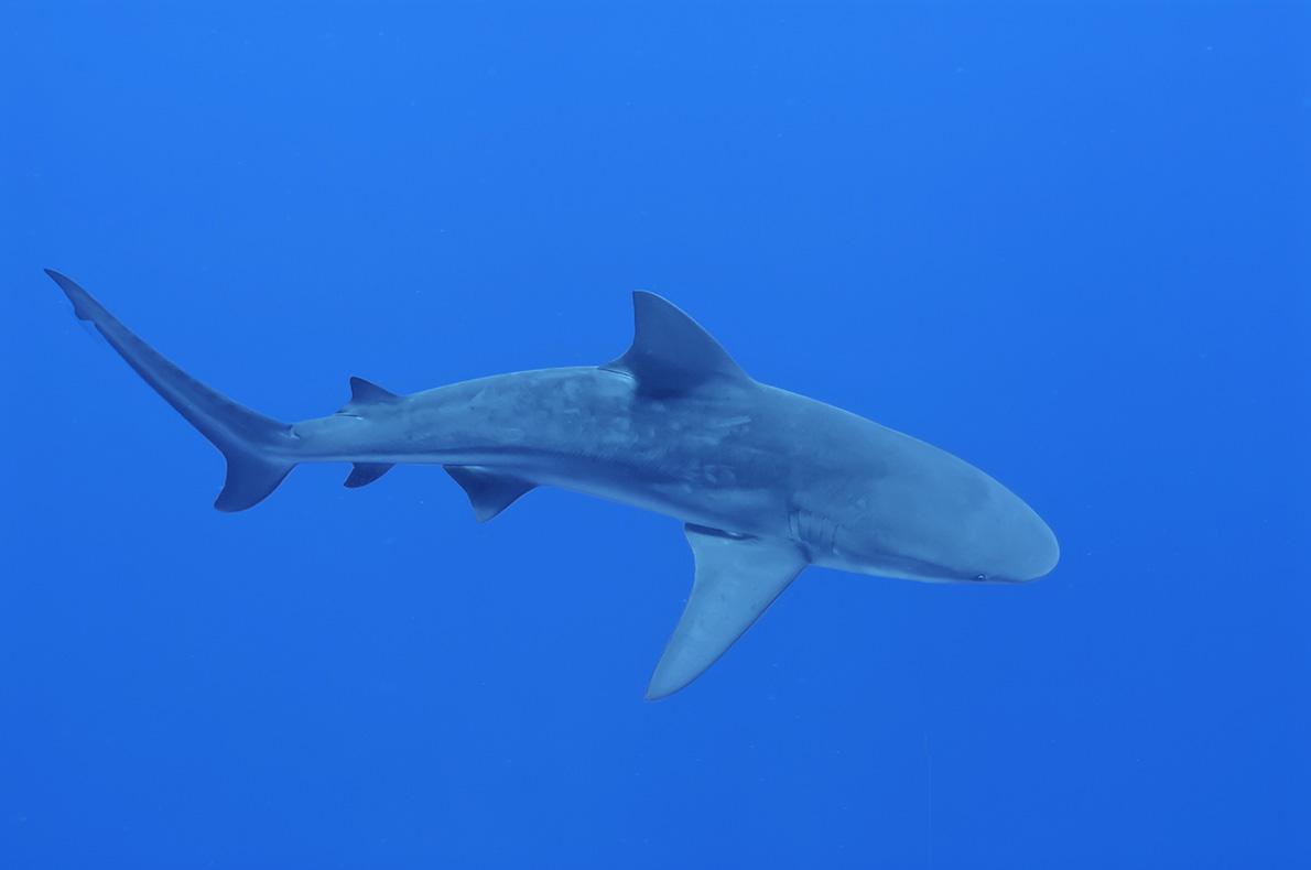 Дайвинг с бычьей акулой